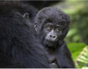 Gorilla Nachhaltig