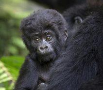 Gorillajunges und Gorillamutter im Regenwald
